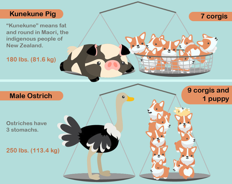 animal-kingdom-weighed-by-corgis